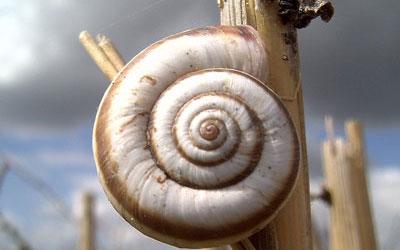 Виноградная улитка  — наземный брюхоногий моллюск отряда лёгочных улиток семейства гелицид.